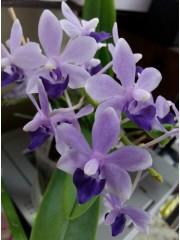 Орхидея Доритаенопсис (Doritaenopsis Tzu Chiang Sapphire)