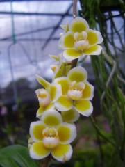 Орхидея Сhiloschista Viridiflava