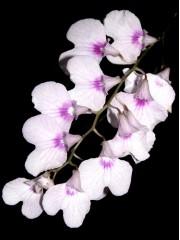 Ionopsis paniculata