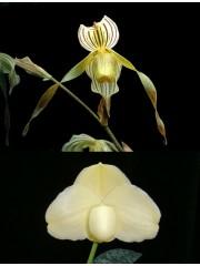 Орхидея Пафиопедилум (Paphiopedilum Kolopakingii var. Topperi x Leucochilum Alba)