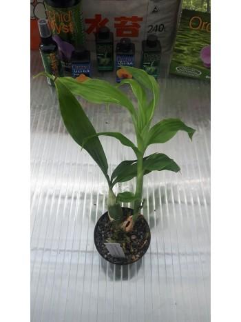 Орхидея Chysis Lаеvis