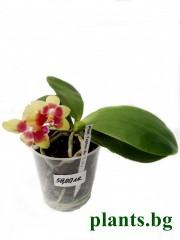 Орхидея фаленопсис  (Phalaenopsis Yaphon sir)