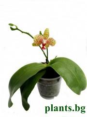 Орхидея фаленопсис (Phalaenopsis Haur Jih princes x Hannover Passion)