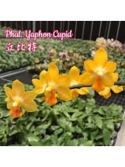 Орхидея Фаленопсис (Phal. Yaphon Cupid )