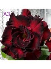 Адениум - Пустинна роза