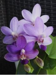 Орхидея Доритаенопсис (Doritaenopsis Purple Martin)