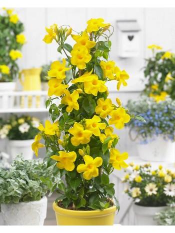 Дипладения (Мандевила) - жълта
