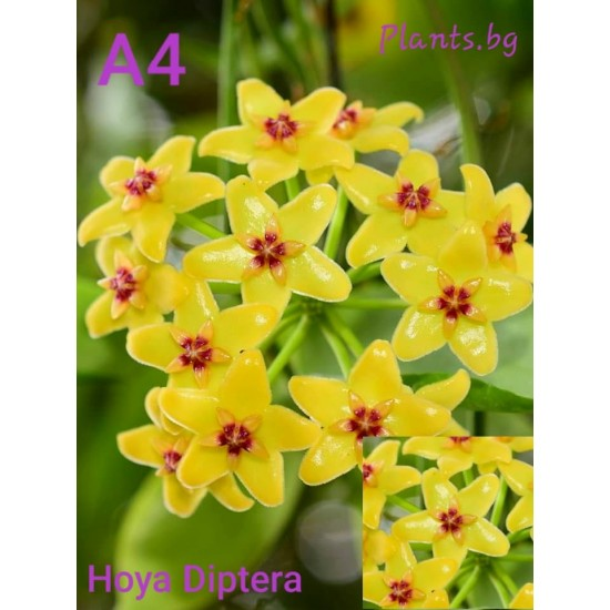 Хоя (Hoya diptera)