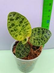 Орхидея Jewel Macodes Petola