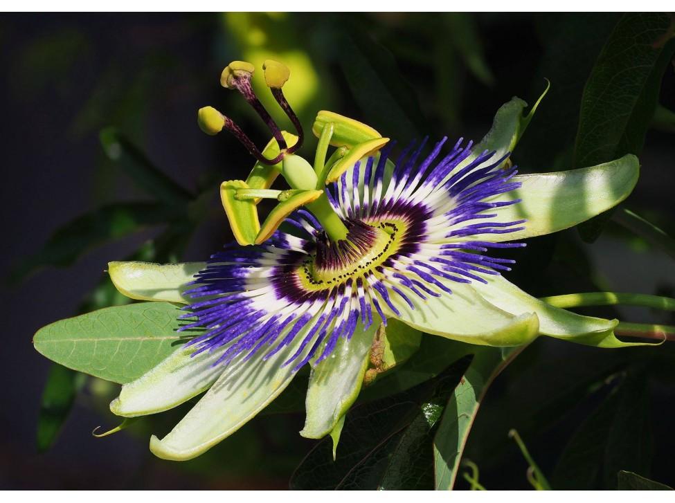 Отглеждане на Синя пасифлора (Passiflora caerulea)