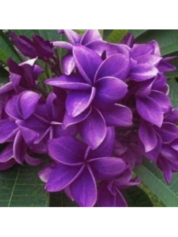 Плумерия -лилава